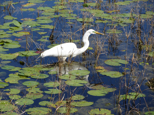 bird in pond2