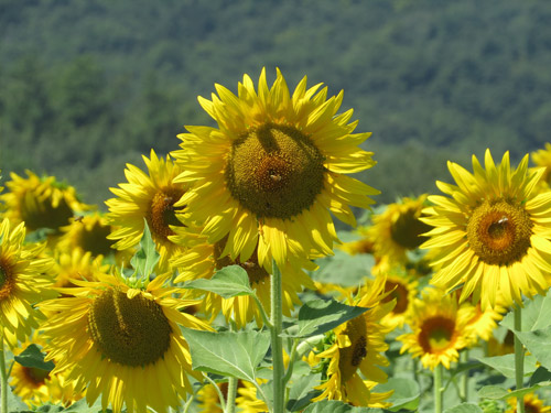 sunflowers2